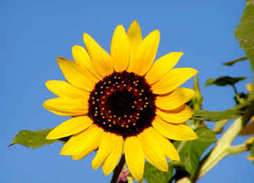 sunflower.JPG (12978 bytes)