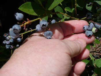 blueberries.jpg (40835 bytes)
