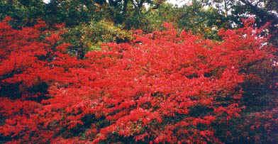 redtree.JPG (47577 bytes)