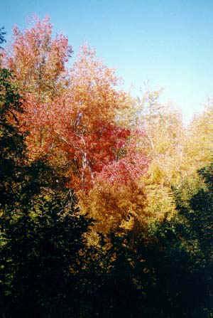 trees.jpg (51317 bytes)