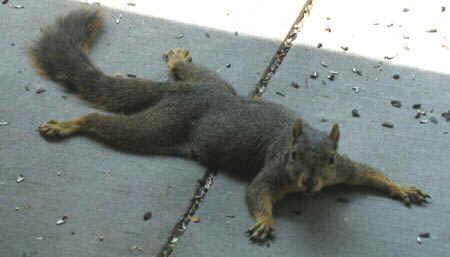 squirrelprone.jpg (24571 bytes)