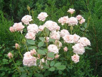 pinkroses.jpg (51977 bytes)