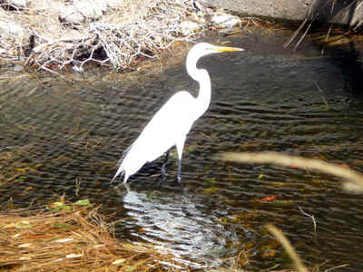 Egret.jpg (90624 bytes)