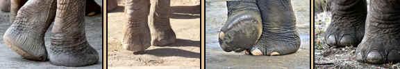 elephantfeet.jpg (80956 bytes)